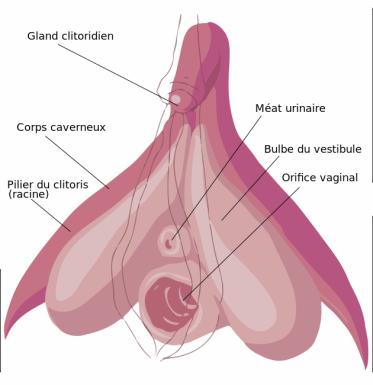 Schéma_strucurel_légendé_du_clitoris.svg